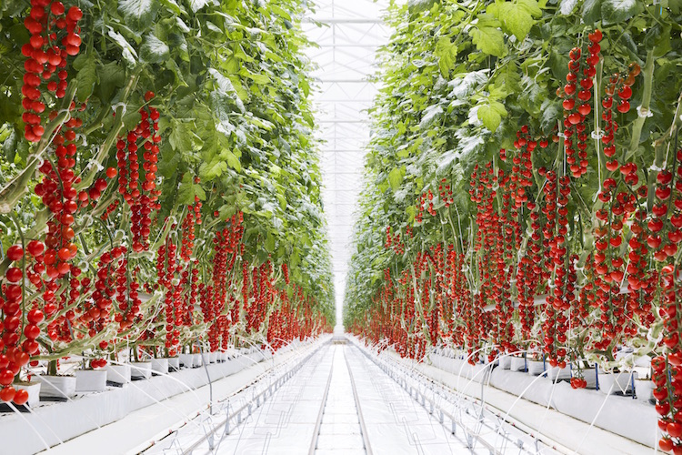 Greenhouse to grocery: Stocking stores with year-round